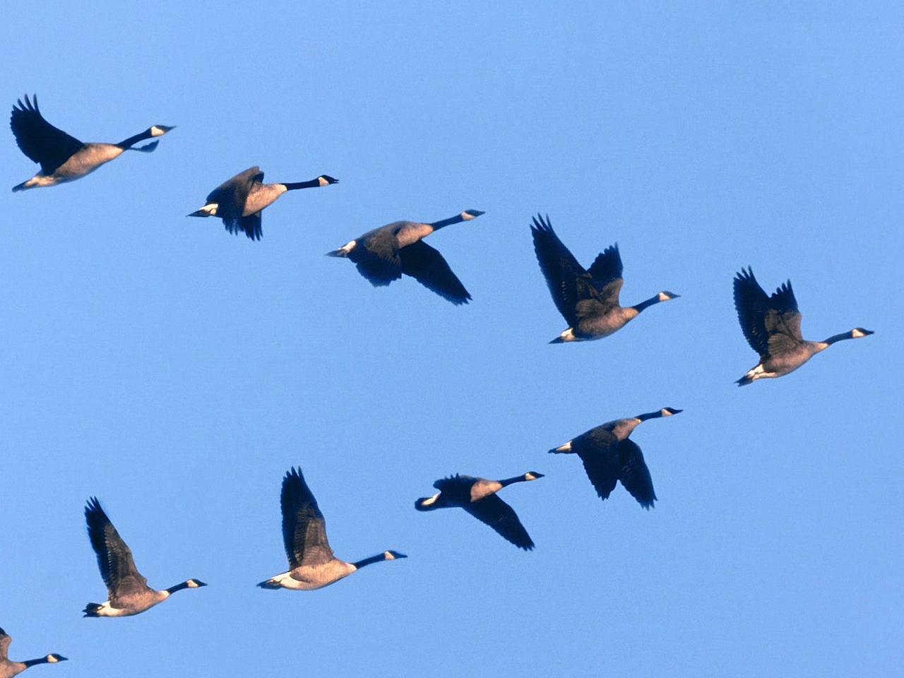 Why Do Birds Fly In V Science May Now Have An Answer